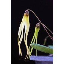 Bulbophyllum jacobsonii var. flava