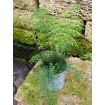 Asplenium daucifolium