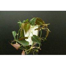 "Philodendron scandens (hederaceum) ""Micans"" (melanochrysum) ""Big Plant"""