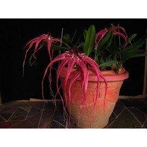Bulbophyllum Lovely Elizabeth`Red Swallow`