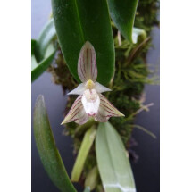 Bulbophyllum ambrosia (Big Clumb)