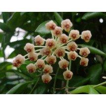 Hoya specie. Sulawesi GPS