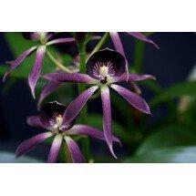 Encyclia lancifolia x Epicattleya Miva Etoile