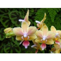 Phalaenopsis Ambo Choon x Be tris `Sunny Smell`