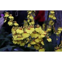 Oncidium Sweet Sugar (Harlekijnorchidee)