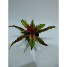 Cryptanthus bivittatus `Green`