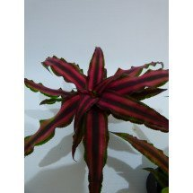 """Cryptanthus bivittatus """"Red"""""""
