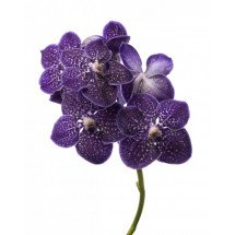 "Vanda Gordon Dillon ""Dark Blue Spotty"""