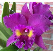 "Blc. King of Taiwan ""Chang Ju"""