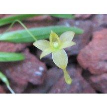 Angraecum ochraceum