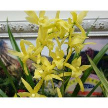 Cymbidium Golden Elf (Varigata)