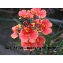 """Tolumnia Jairak Flyer """"Salmon"""""""