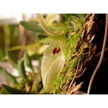 """Barbosella australis """"4N Leaf"""""""