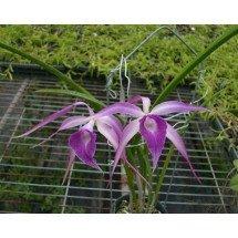 Brassavola cucullata x L. purpurata