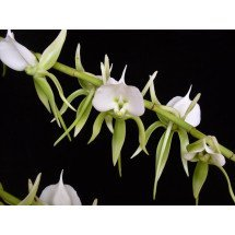 """Angraecum eburneum """"Big"""""""