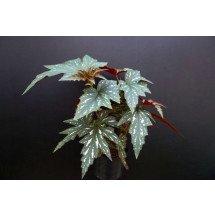 "Begonia acontifolia ""Sophie Cecile"" ""Big"""