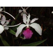 "Holcoglossum kimballianum ""Big"""