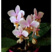 Phalaenopsis Philadelphia (stuartiana x schilleria)