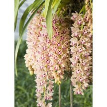 "Cymbidium Mary Green ""Spring Wind"""