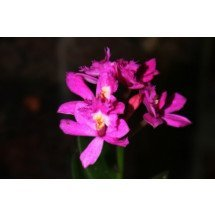 Epidendrum Ruge Magic