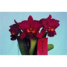Blc. Sanyung Ruby `Grand Dragon`