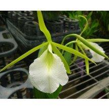 Encyclia mariae X B. nodosa