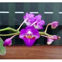 Phalaenopsis San Shia Appendo (Phal. appendiculata x Phal. pulcherrima)