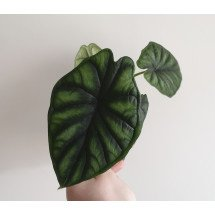 Alocasia Silver Green Dragon