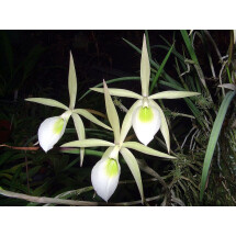Brassavola flagellaris ''Big plant ''