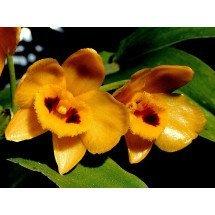 Dendrobium chrysanthum 'Orange Type'