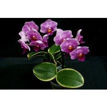 """Doritaenopsis Sogo Vivien """"Golden Vivien"""" Big"""