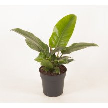 """Philodendron Imperial Green """"Big Plant"""""""