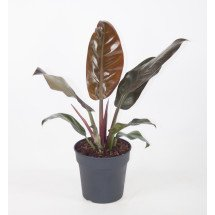 """Philodendron Imperial Red """"Big Plant"""""""