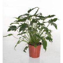 "Philodendron xanadu ""Big Plant"""