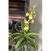 Doritis pulcherima x Ascocentrum miniatum (YC Yellow New Type)