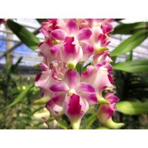 "Aerides lawrenciae ""Hub AM x Vicean"""