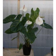 Anthurium White