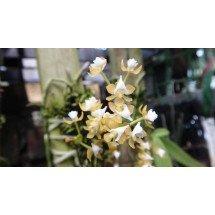 Ascochilus (Grosourdya) nitidus