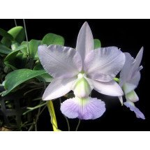 Cattleya walkeriana blue