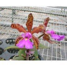Cattleya aclandiae x schilleriana