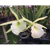 Brassavola nodosa x Brassavola digbyana ''Big XXL Plant''