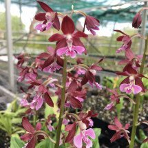 Calanthe discolor x kozu red
