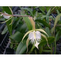 Epidendrum ciliare x Brassavola digbyana