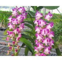 Aerides lawrenceae 'Big'