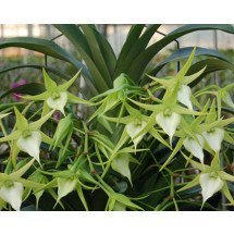 "Angraecum Crestwood ""tomorrow star"" Big"