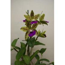 """Cattleya aclandiae """"Hybrid Special Selection 3"""""""