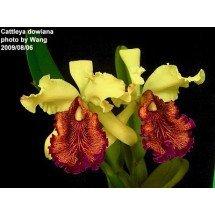 Cattleya dowiana var. aurea