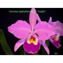 Cattleya gaskelliana