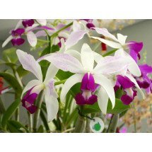 "Cattleya violacea semi alba ""Big"""