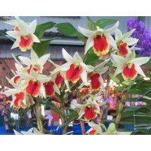 "Dendrobium Frosty Dawn ""Red Lip"""
